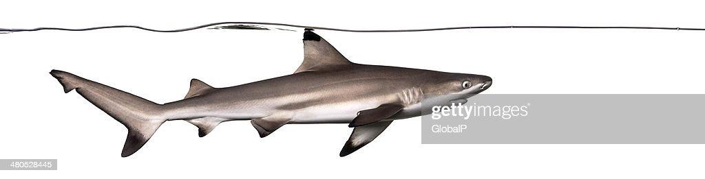 Schwarzspitzenriffhai Schwimmen unter Wasser-Linie : Stock-Foto