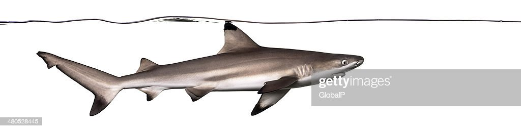 Blacktip reef shark swimming under water line : Stock Photo
