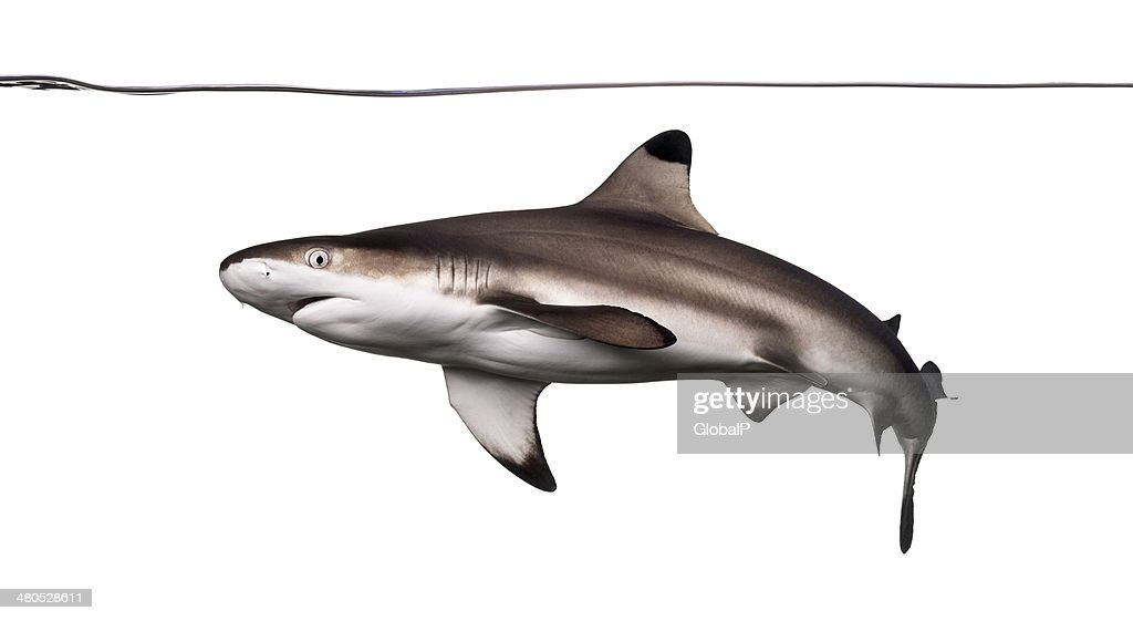 Blacktip reef shark swimming under water line : Stock Photo