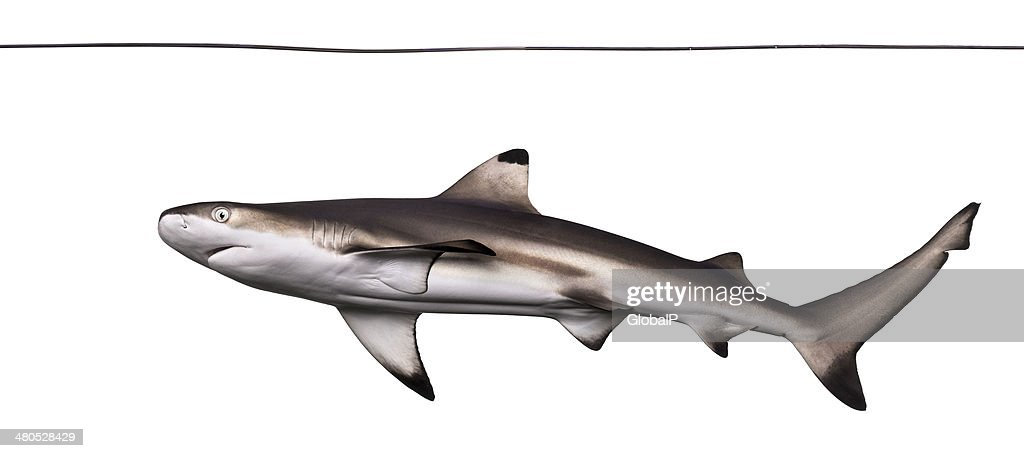 Blacktip reef shark viewed from below swimming under water line : Stock Photo