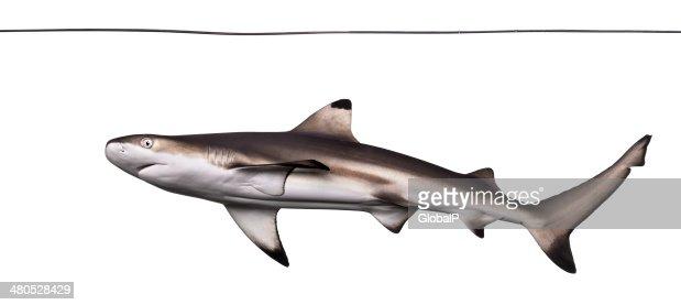 Blacktip reef shark viewed from below swimming under water line : Stock Photo