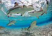 Black-Tip Reef Sharks in shallow-water lagoon