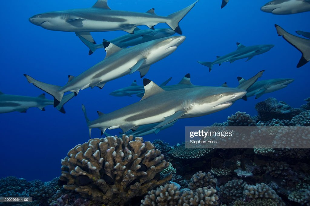 Blacktip reef sharks (Carcharhinus melanopterus) : Stock Photo