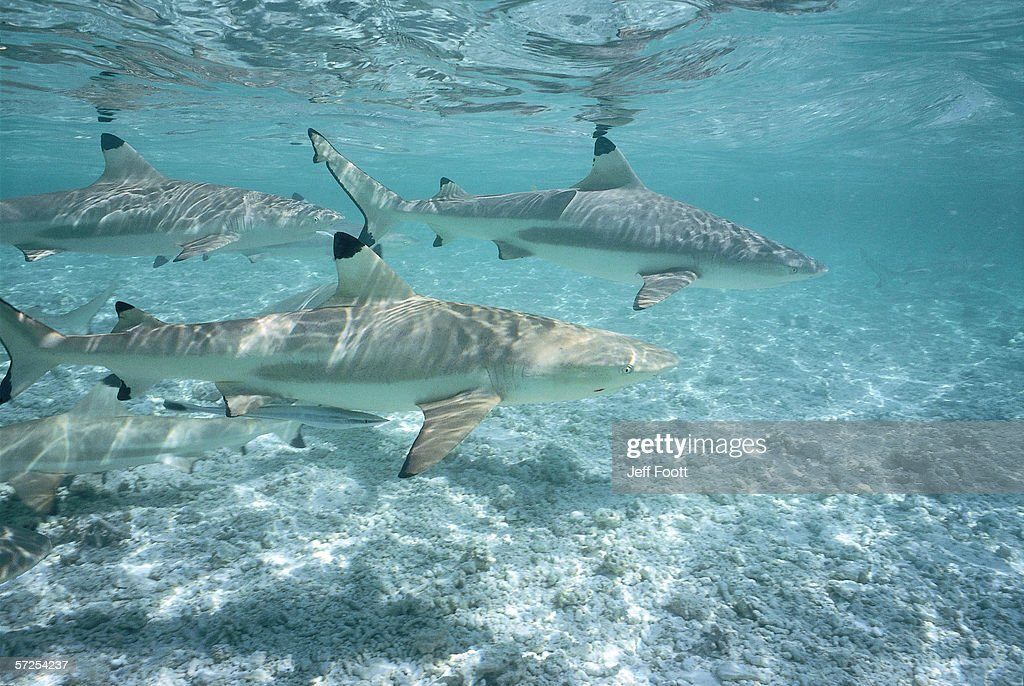 Blacktip Reef sharks swim in shallow water. Carcharhinus melanopterus.