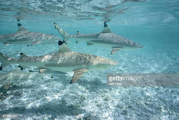 Blacktip Reef sharks swim in shallow water. Carcharhinus melanopterus.
