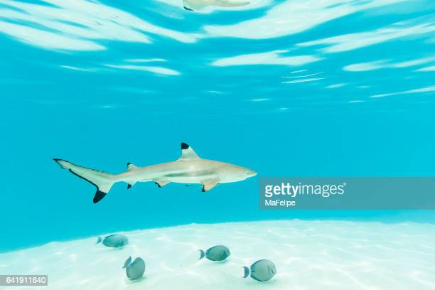 Blacktip Reef Sharks Swimming in Clear Turquoise Water