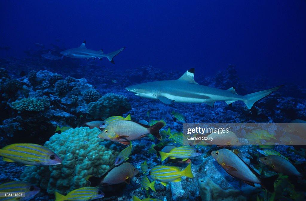 blacktip reef sharks,carcharhinus melanopterus, swimming, polynesia : Stock Photo