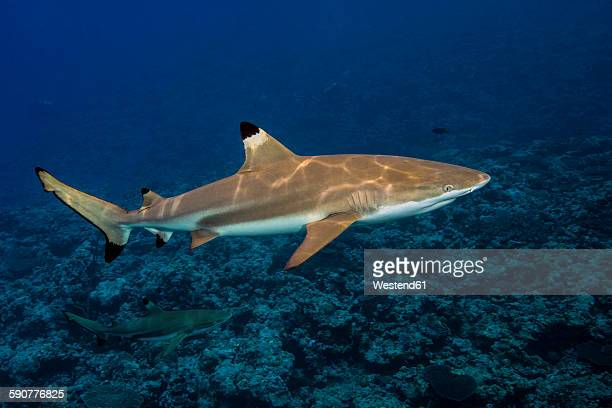 Blacktip Reefshark, Carcharhinus melanopterus