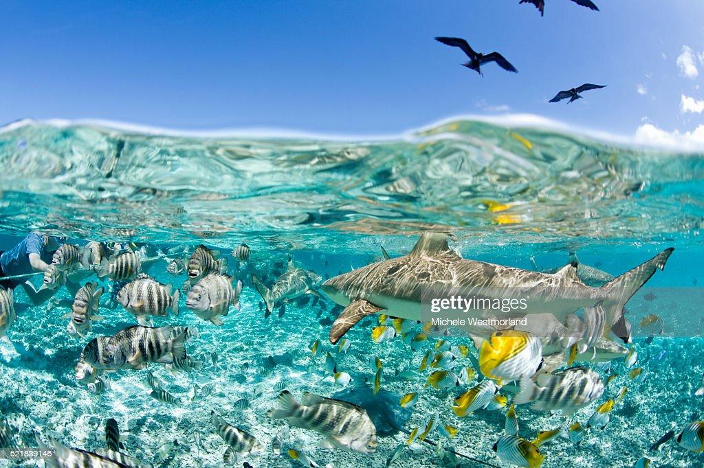 Blacktip Shark and Tropical Fish in Bora-Bora Lagoon