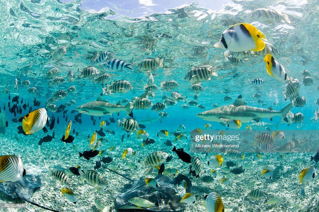 Blacktip Sharks and Tropical Fish in Bora-Bora Lagoon