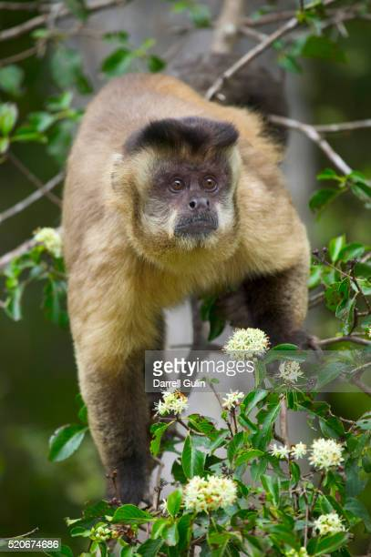 Black-tufted Capuchin