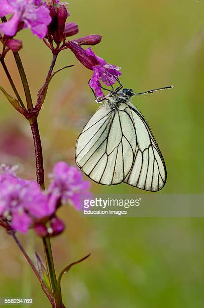 Blackveined White Aporia crataegi with dew Early morning in Mols Denmark