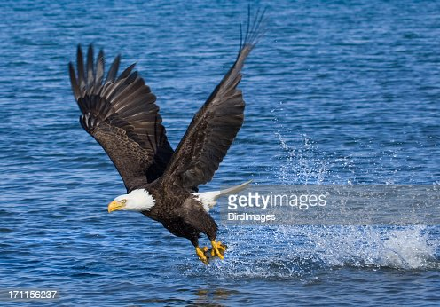 Blad Eagle catching fish - Alaska