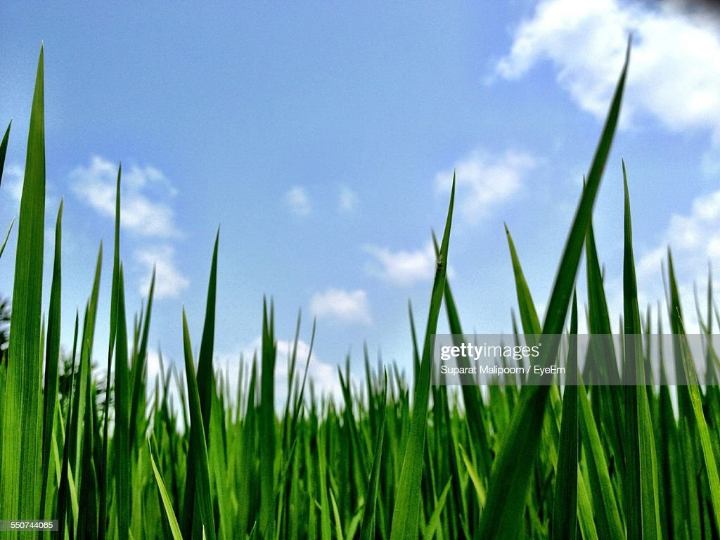Blade Of Grass Against Cloudy Sky