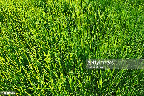 Blade of Grass in Spring