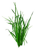 Blade of grass isolated on white background. Clipping Path included for your design