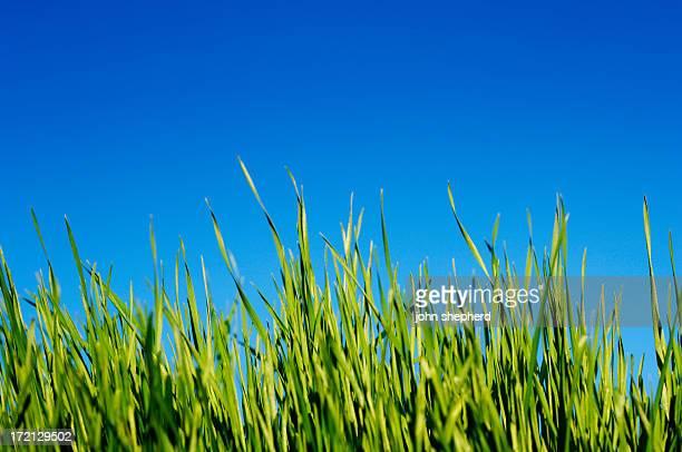 blades von Gras gegen blauen Himmel