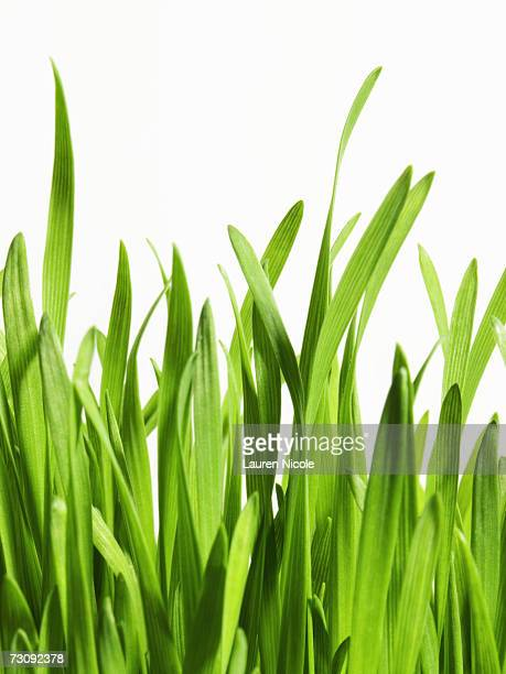 Blades of grass, close up