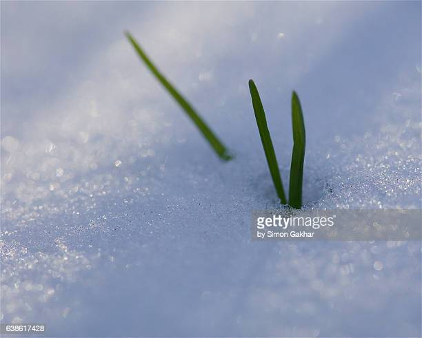 Blades of Grass in Snow