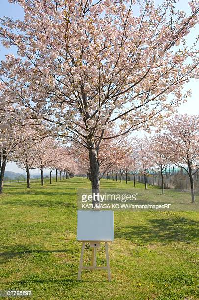 Blank artist's easel in a field of cherry trees