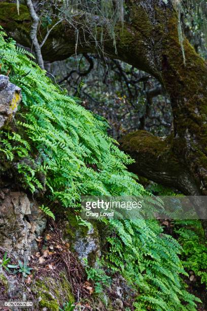 FERNS blanket a hillside in GARZAS CANYON - CARMEL VALLEY, CALIFORNIA