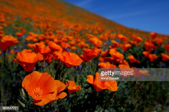 A blanket of orange covers a hillside outside of Lancaster as the California Poppies come into bloom The California Poppy Reserve will open this...
