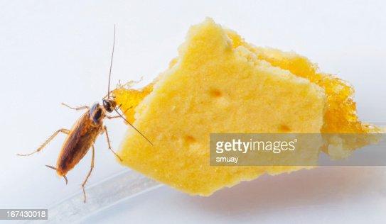Blattella germanica german cockroach : Stock Photo