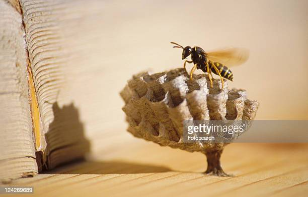 blauphoton, animals, birds-nest, bee, apoidea, alexander