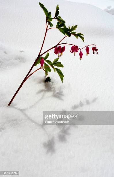 Bleeding Heart plant blooms after a latespring snow in Santa Fe New Mexico