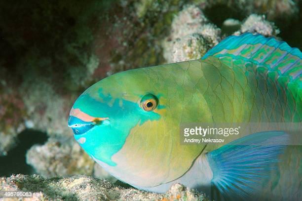 Bleeker's Parrotfish -Chlorurus bleekeri-, Red Sea, Egypt
