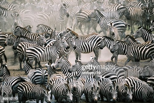 Blend in with the crowd - Zebra herd