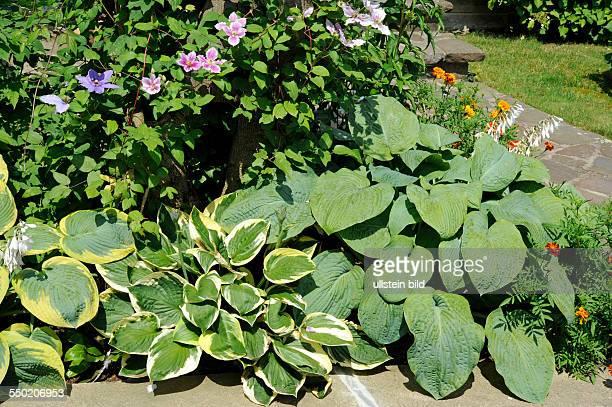 Blühende BlaublattFunkie und weitere Hosta Hybriden mit ClematisTagetes und anderen Schmuckstauden bodendeckend im Gartenbeet