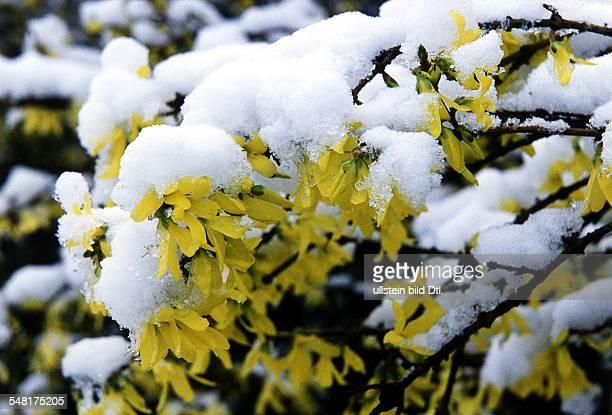 blühende Forsythien mit Schnee bedeckt 00031997