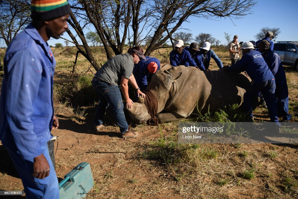A blindfolded white rhino is held in place after being shot with a tranquiliser dart before having it's horn trimmed, at the ranch of rhino breeder John Hume, on October 16, 2017 in the North West Province of South Africa. John Hume is currently the owner of around 1500 white and black rhinos, which he keeps under armed guard on his 8000 hectare property. In a bid to prevent poaching and conserve the different species of rhino, the horns of the animals are regularly trimmed, with 264 of the off-cuts recently being placed on sale at auction. The controversial decision to sell the horns was made on the basis that the illegal market creates an inflated value, while a controlled system would lower the prices and the need to poach. Mr Hume believes that the only way to ensure that the rhino does not become extinct is through farming the animals on a large scale and legalising the sale of rhino horn globally.