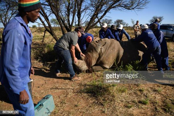 A blindfolded white rhino is held in place after being shot with a tranquiliser dart before having it's horn trimmed at the ranch of rhino breeder...