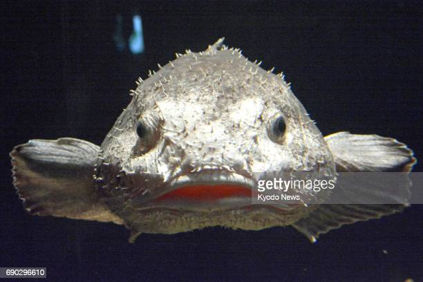 A blobfish shown in this photo taken May 30 in Aquamarine Fukushima had been caught alive in midMay 2017 in waters off Hokkaido northern Japan The...