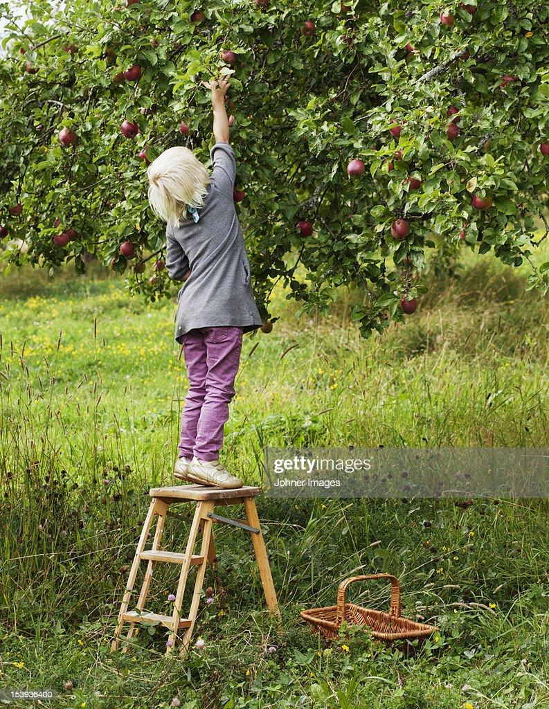 Blond girl picking apples