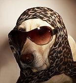 Blond Labrador Retriever wearing sun glasses