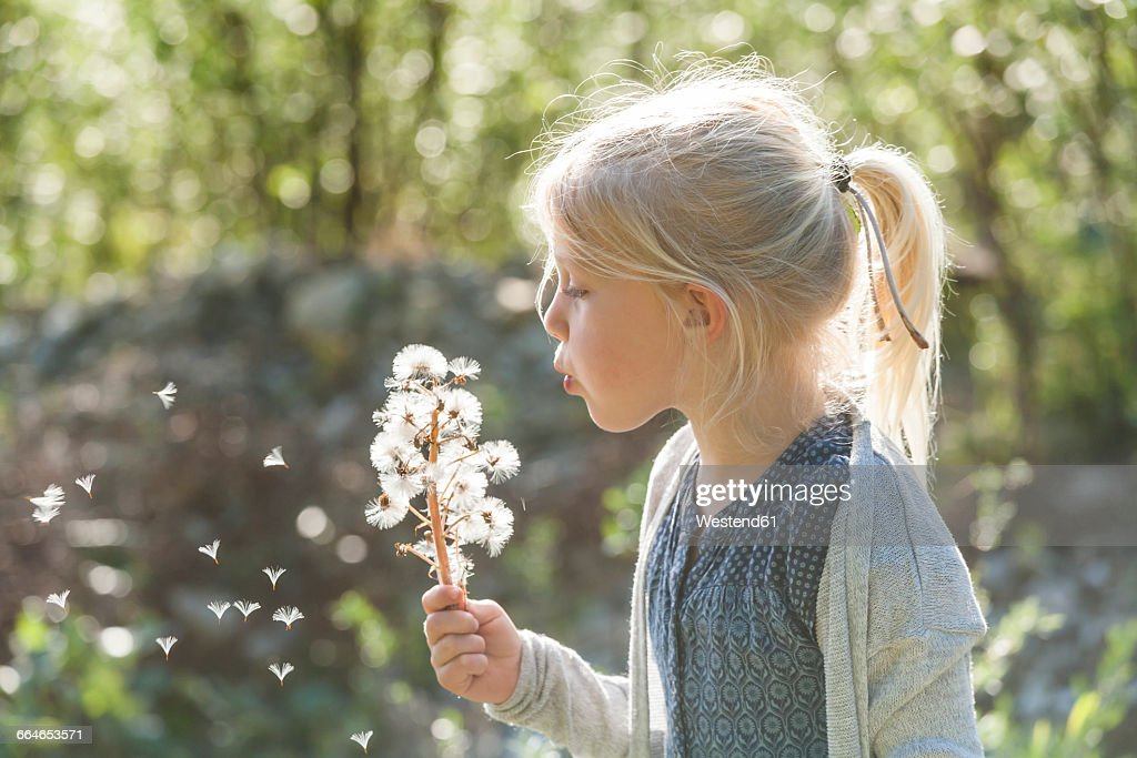 Blond little girl blowing seeds of an umbel into the air