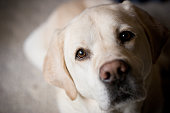 Side lighting on blonde labrador retriever looks at camera from an indoor home setting.  Suggests waiting, longing, paying attention, lonely, training.  Room for copy on side neutral background.