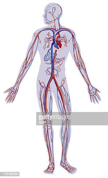 Blood Circulation Illustration Circulatory System VeinArteryHeart In A Masculine Silhouette In Front View