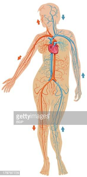 Blood Circulation Illustration The Cerebral Vein The Temporal Artery And Vein The Jugular Vein The Superior Vena Cava The Aorta On The Left The...