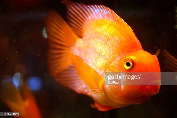 Blood Parrot Cichlids in Fish Tank