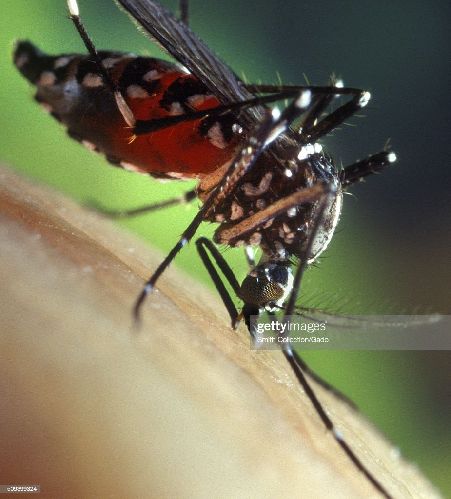 A bloodengorged female Aedes albopictus mosquito feeding on a human host Under experimental conditions the Aedes albopictus mosquito also known as...