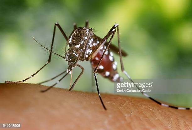 A bloodengorged female Aedes albopictus mosquito feeding on a human host 2002 Under successful experimental transmission Aedes albopictus has been...