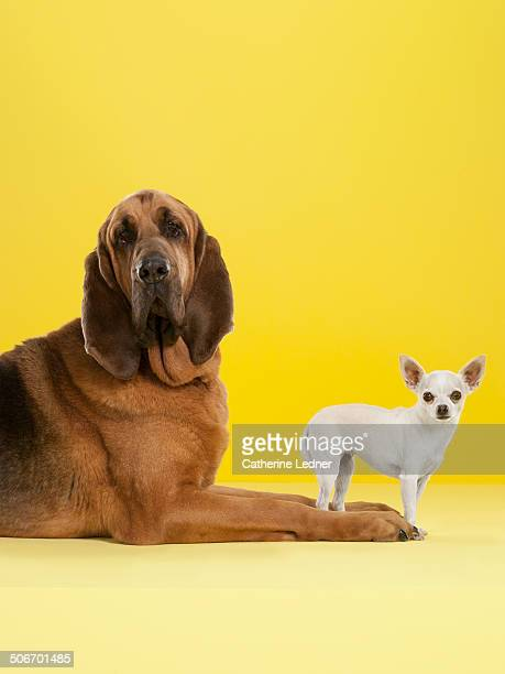 Bloodhound and Chihuahua