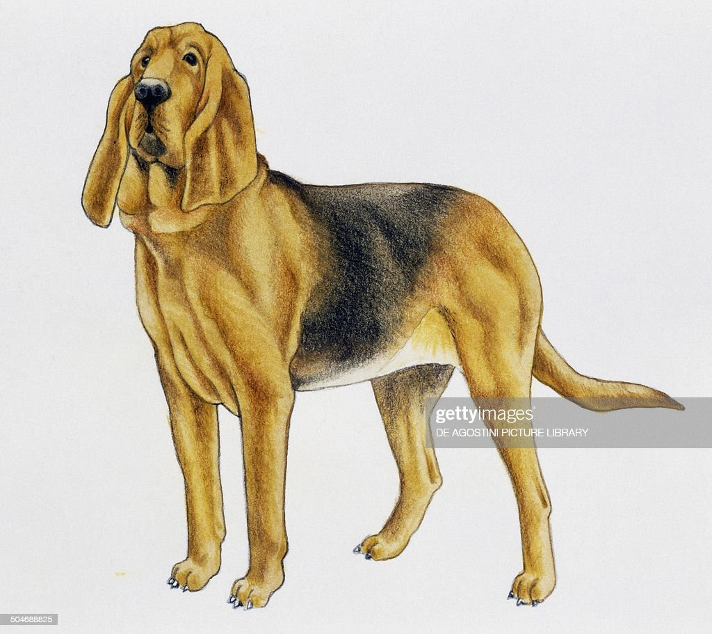 Bloodhound Canidae drawing