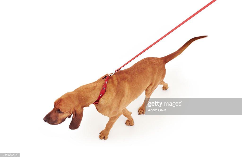 Bloodhound Dog on Leash
