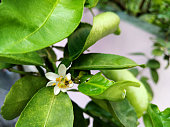 Bloom lime flower is pollinated by natural reproduction process, ants walking around its male and female pollen.