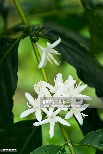 Bloomimg Kona coffee flowers
